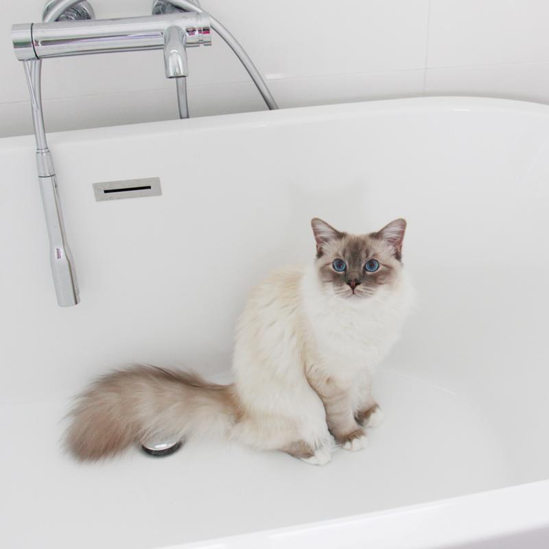 Sacré de Birmanie dans une baignoire