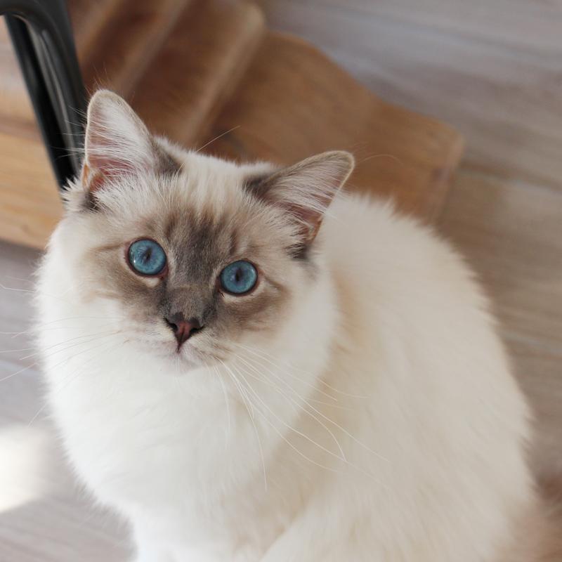Chat sacré de Birmanie bleu tabby
