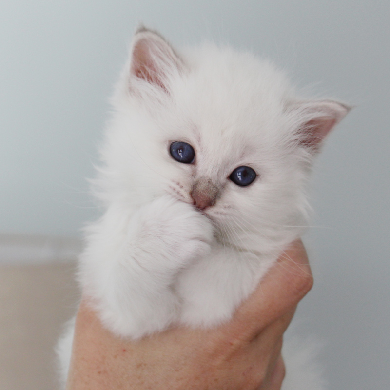 chaton sacre de birmanie bordeaux