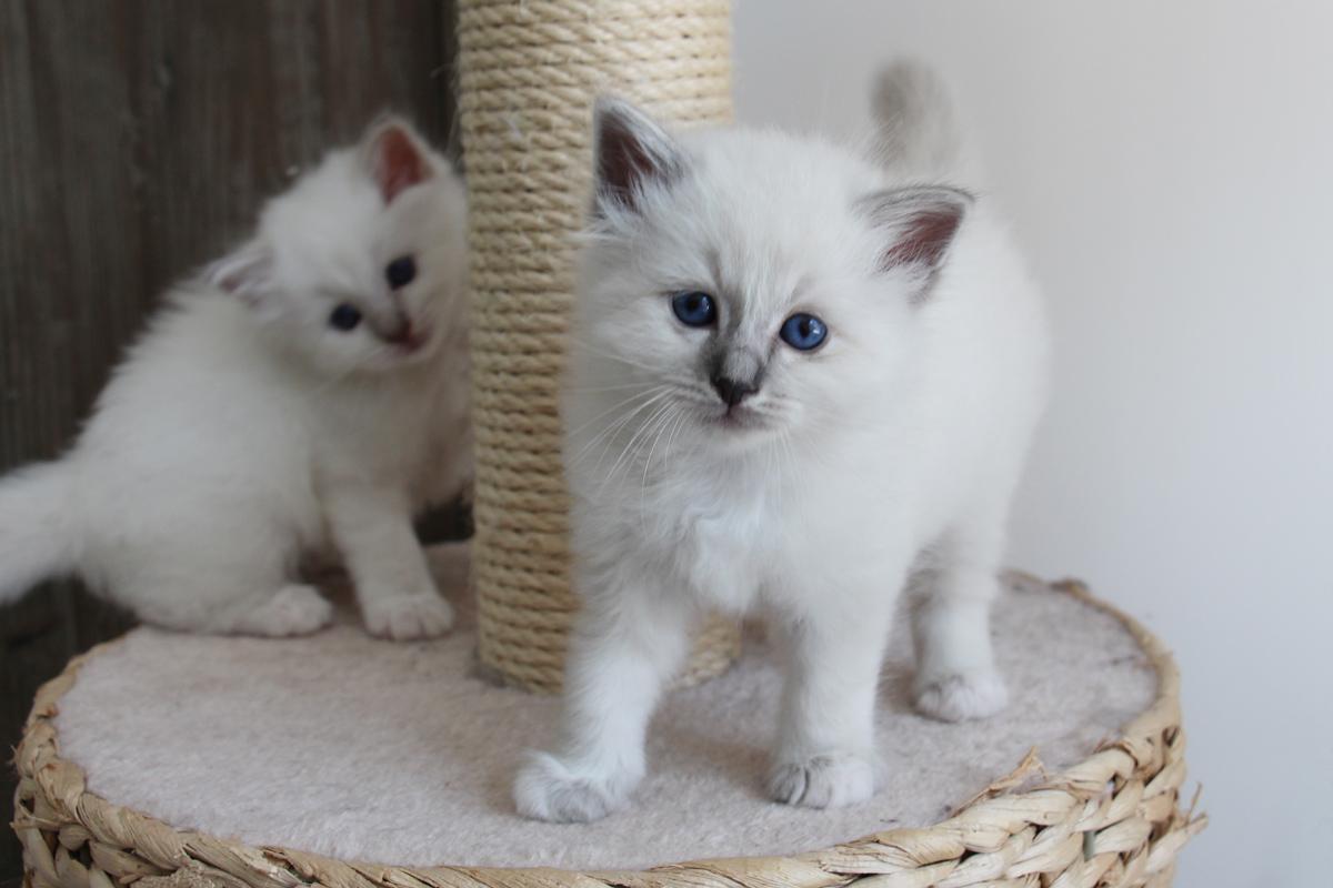 chatons sacré de birmanie gironde