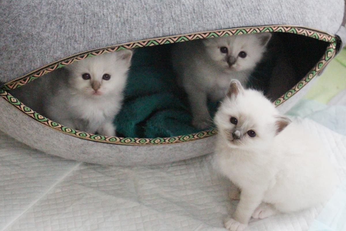Portée chatons sacré de birmanie bordeaux