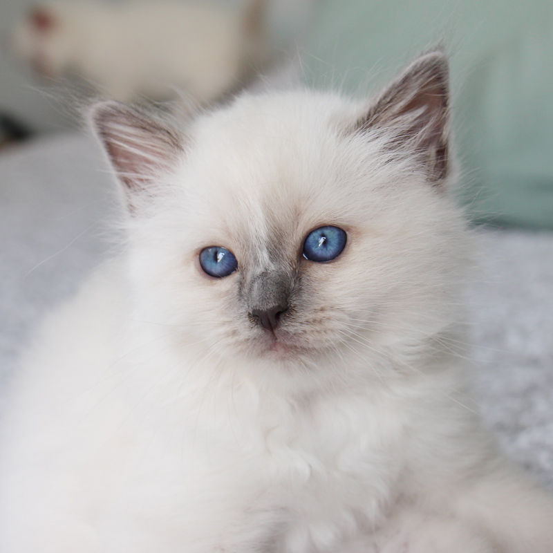 Chaton sacre de birmanie blue point bordeaux