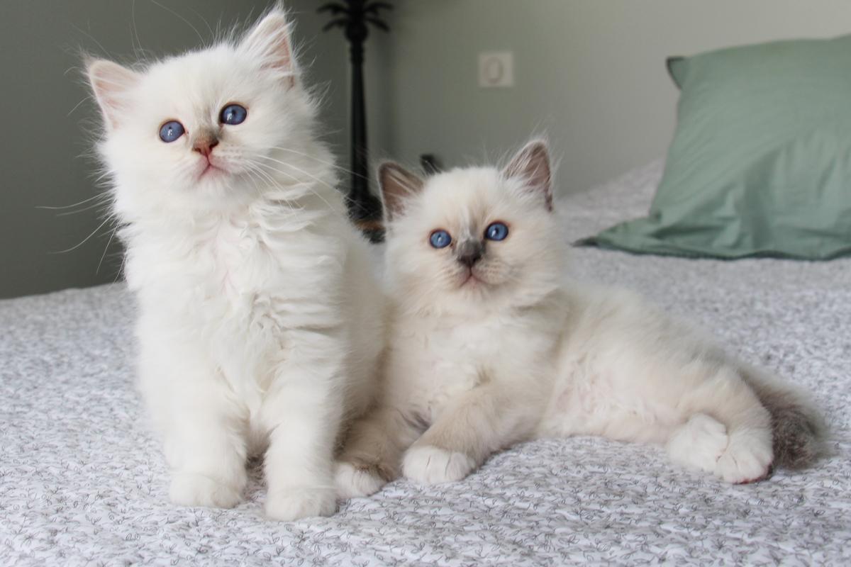 chatons sacré de birmanie bordeaux